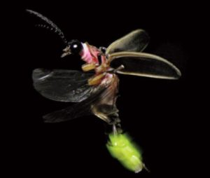 The lightning bug (firefly) at night