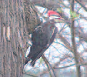 Pileated woodpeckers photographed by John Brown, of Waterville.
