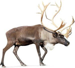reindeer or caribou