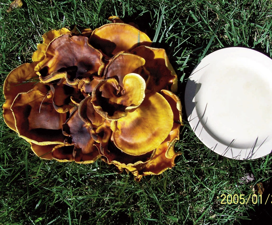 PECULIAR MUSHROOM: Joan Robertson, of Palermo, snapped this mushroom growing on her lawn. It measured more than 10-inches in diameter.