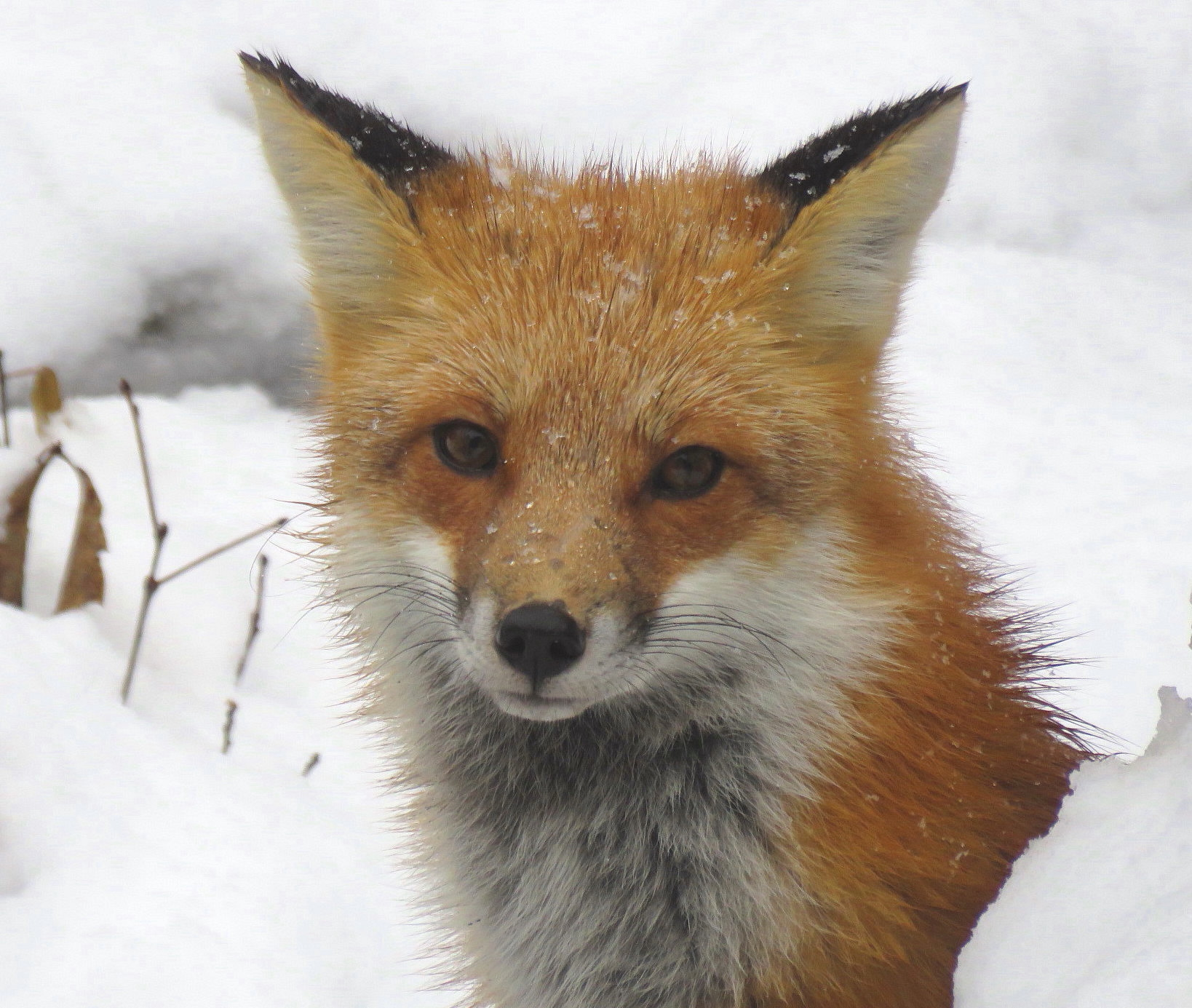 SCORES & OUTDOORS: Red fox population growing in our area ...