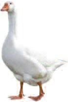Goose, before Christmas dinner.