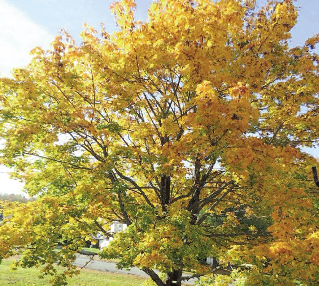 FALL SCENE: Betty Dunton, of Gardiner, snapped this tree in its full colors.