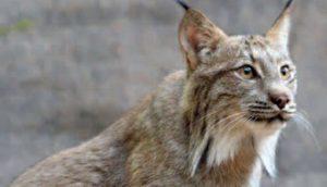 A Canada lynx in the wild.