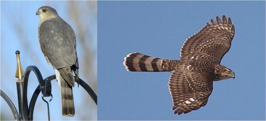 Was It A Sharp Shinned Hawk Or