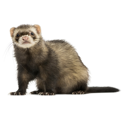 SCORES & OUTDOORS: A ferret could save your life some day ...