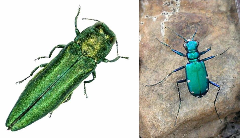 Image result for tiger beetle vs emerald ash borer
