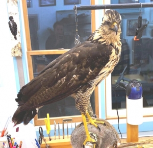 great black hawk mount destined for the Maine State Museum